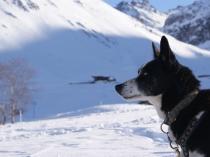 chien-traineau-vercors-alaskan-2