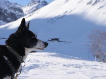 chien-traineau-vercors-musher-alaskan-husky