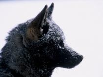 chiens-traineaux-vercors-10