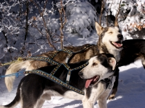 chiens-traineaux-vercors-husky-2