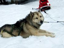 chiens-traineaux-vercors-husky